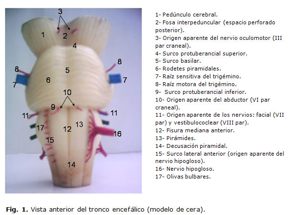 Sistema de medios de enseñanza sobre tronco encefálico y dirección ...