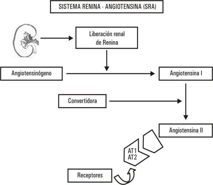 El sistema renina-angiotensina y el riñón en la fisiopatología de la ...