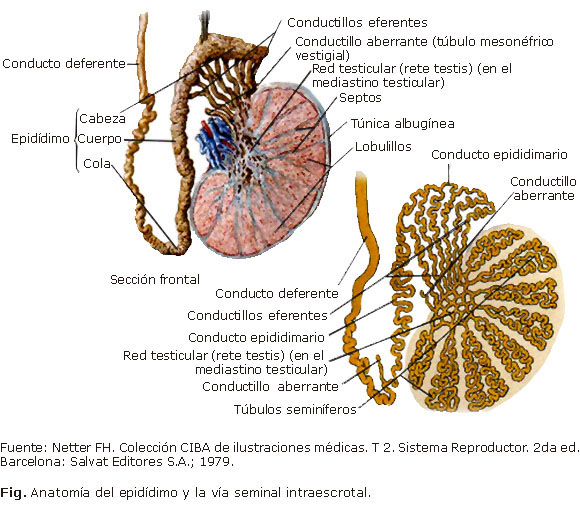 Diagnóstico Y Tratamiento De Los Tumores Del Epidídimo