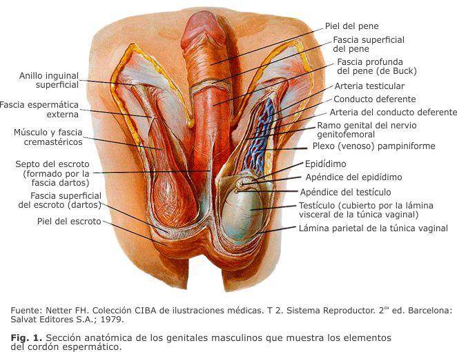 Tumores del cordón espermático y las túnicas escrotales
