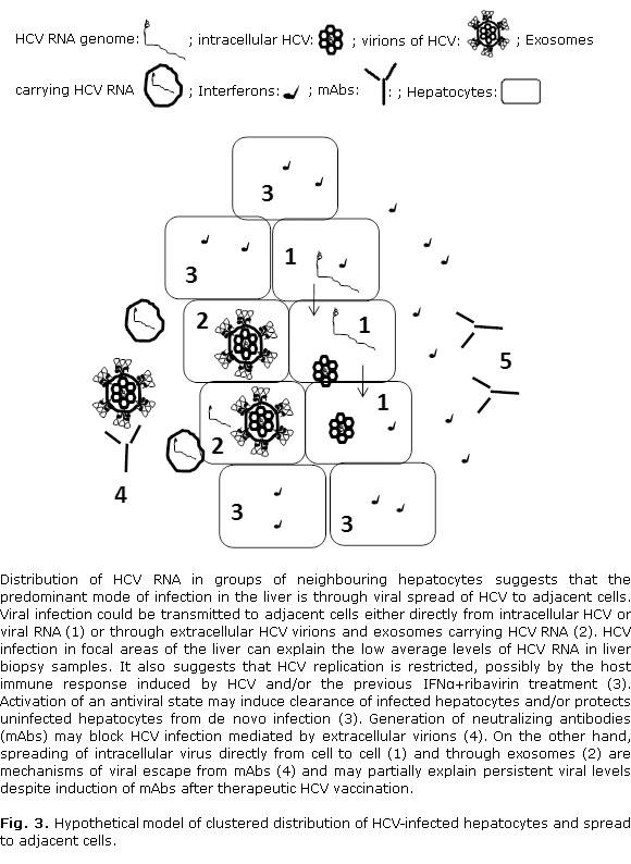 Distribución agrupada de las células infectadas por el virus