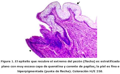 Características histológicas de los pezones de cerda